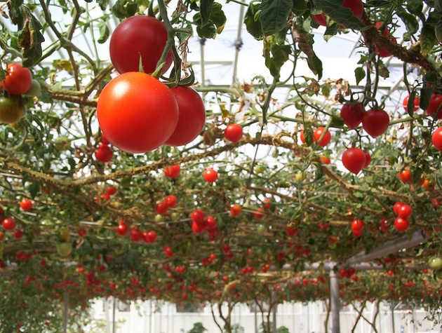 Do-it-yourself: growing tomatoes .