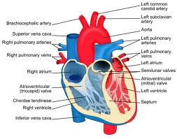 How the heart works.