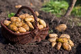 Do-it-yourself: growing potatoes