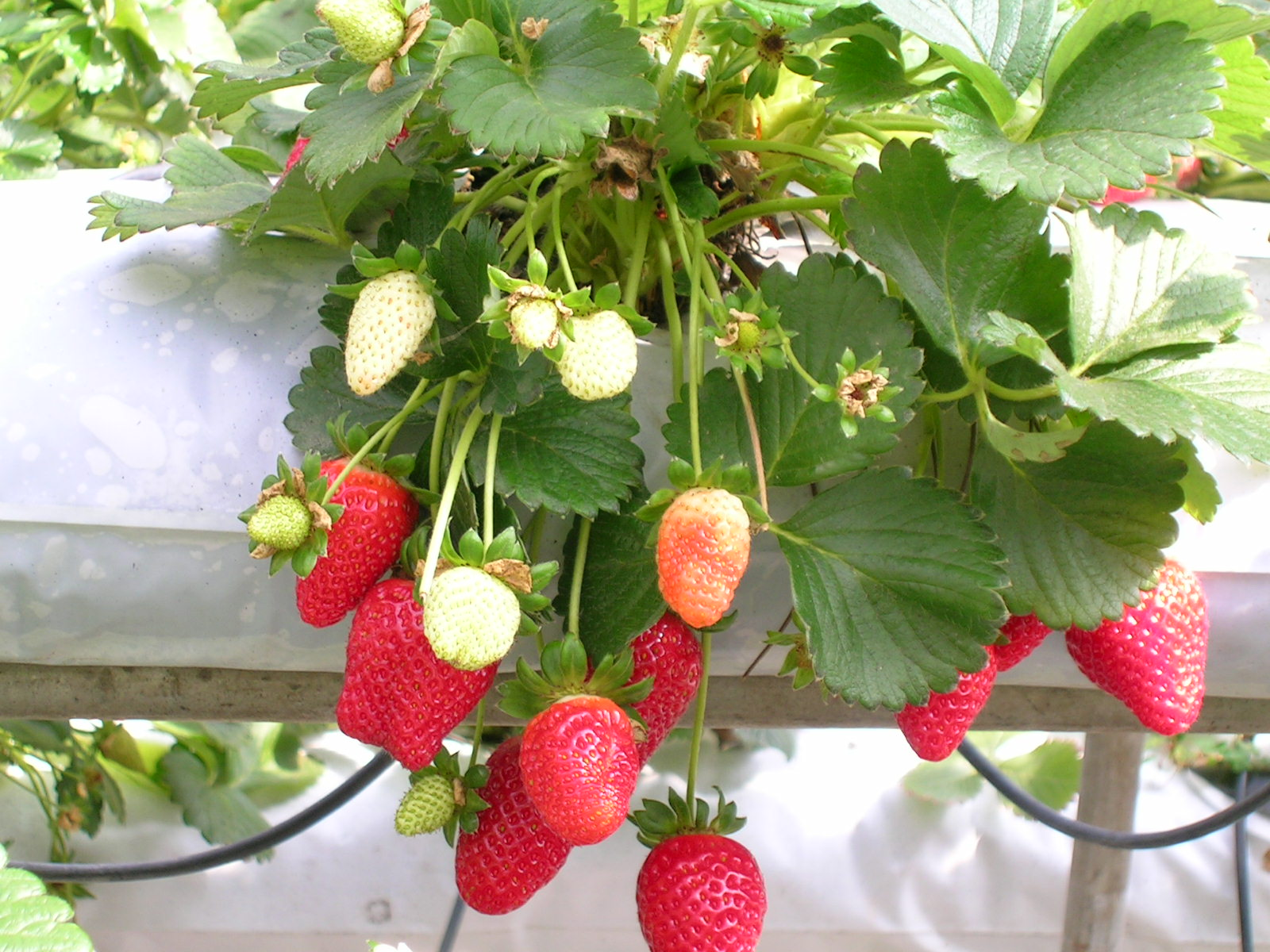 Grow it yourself: Strawberries